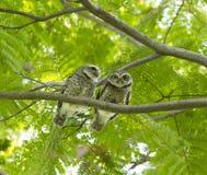 Couples de hibou sur l'arbre vert Photographie stock