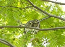 Couples de hibou sur l'arbre vert Images stock