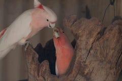 Couples de Kakadu - image courante image stock