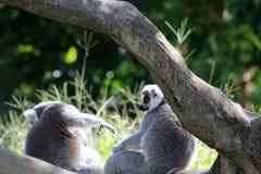 Couples de lémur Image stock