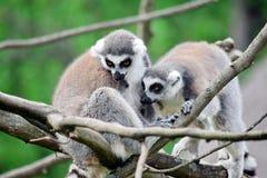 Couples de lémur Catta sur la branche photos stock