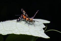 Couples de l'accouplement d'abeilles Image libre de droits