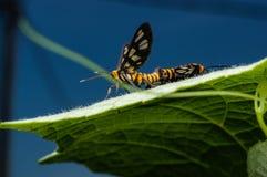 Couples de l'accouplement d'abeilles Photographie stock libre de droits