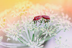 Couples de l'accouplement rouge d'insectes de bouclier Image stock