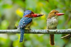 Couples de l'amour du martin-pêcheur Banded Image libre de droits