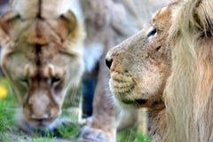 Couples de lion Image stock