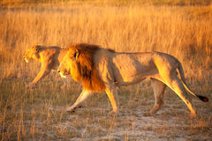 Couples de lion Photos libres de droits