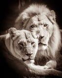 Couples de lion photo libre de droits