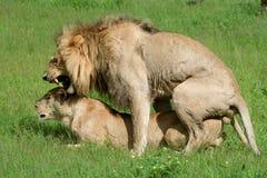 Couples de lion accouplant, Okavango Photographie stock libre de droits