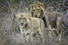 Couples de Lion´s image libre de droits