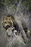 Couples de Lion´s images libres de droits