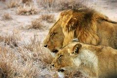 Couples de lions Photographie stock libre de droits