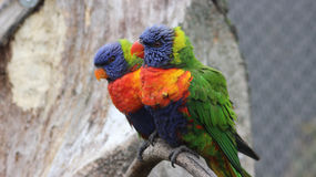 Couples de Lorikeet d'arc-en-ciel Image stock