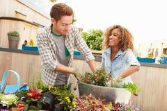 Couples de métis plantant le jardin de dessus de toit ensemble Photos stock