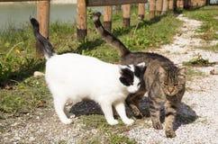 Couples de marche de deux chats affectueux Photos libres de droits