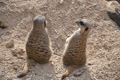 Couples de Meerkat Image stock