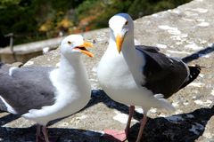 Couples de mouette dans l'amour avec un bel environnement naturel à l'arrière-plan Image libre de droits