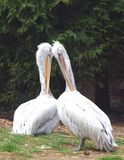 Couples de pélicans - onocrotalus de Pelecanus Photo stock