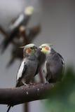 Couples de perroquet Photographie stock