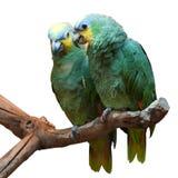 Couples de perroquet Jaune-couronné d'Amazone Photographie stock libre de droits