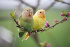 Couples de perruche sur une branche de pêche Photographie stock libre de droits
