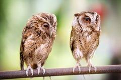 Couples de petits hiboux Image libre de droits