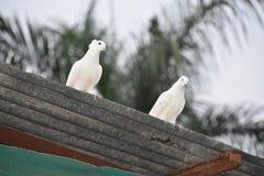 Couples de pigeon Photo libre de droits