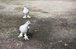 Couples de pigeon Photographie stock