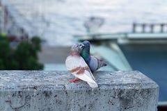 Couples de pigeon Images stock