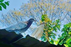Couples de pigeon Images libres de droits