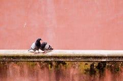 Couples de pigeon sur le vieux mur de rosa Photos libres de droits