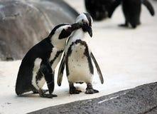 Couples de pingouin Images stock