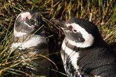 Couples de pingouin de Magellan dans l'amour Images libres de droits