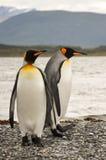 Couples de pingouin de roi Photo libre de droits