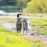 couples de promenade amicale de chat rayé mignon autour dans le s juteux Photos libres de droits