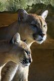 Couples de puma Photographie stock