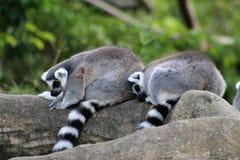 Couples de repos de lémur Photographie stock libre de droits