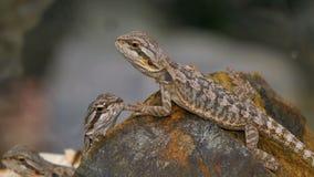 Couples de reptile de Pogona banque de vidéos