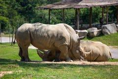 Couples de rhinocéros dans la poussière photos stock