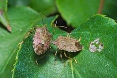Couples de shieldbug vernal Images libres de droits