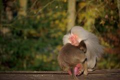 Couples de singe dormant ensemble Image libre de droits