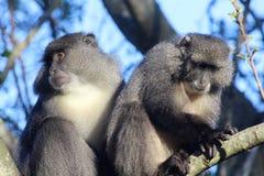 Couples de Sykes Monkey Photos stock