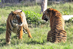 Couples de tigre Photographie stock