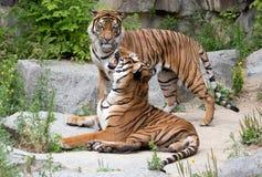Couples de tigre Photographie stock
