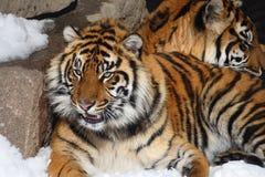 Couples de tigre Photographie stock libre de droits