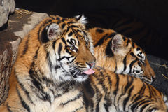 Couples de tigre Image libre de droits