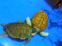 Couples de tortue Photos stock