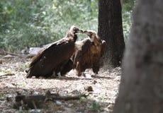 Couples de vautours moines Image stock