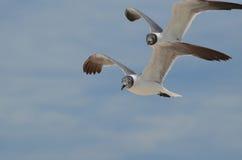 Couples de vol de mouettes riantes en tandem Image libre de droits