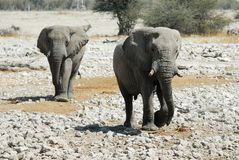 Couples des éléphants en parc national d'Etosha, Namibie Photographie stock